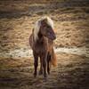 Icelandic horse on Snæfellsnes