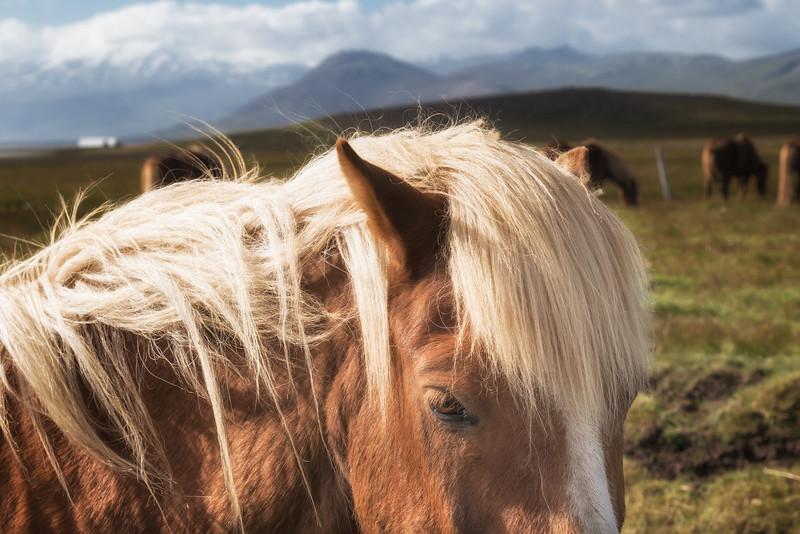 Icelandic horse, Snæfellsnes Peninsula