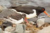 Eurasian Oystercatchers