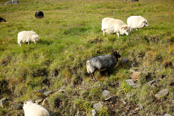 Wild sheep roam everywhere