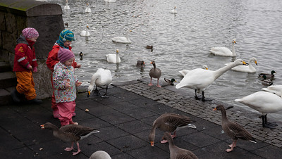 kids feeding swans and geese
