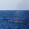 <H3> - Say Hello to my little friend - </H3> Blue Whale surfaces off the coast of Husavik, Northern Iceland