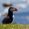 <H3> The Puffin sighting </H3> ...As i returned back to the car after the hike to see puffins on Latrabjarg (without success), I see this little bugger pop up from his burrow! I panicked and tried to take as much of a close shot as I could before it disappeared...So I finally caught a puffin to make this journey here worth it!