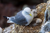 Black-legged Kittiwakes