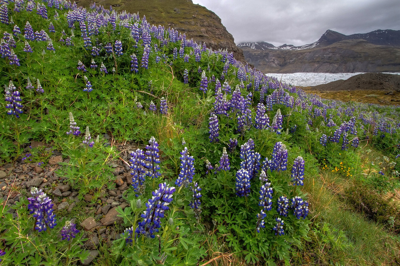 <H3>Hillside Lupines by the glacier </H3> I found this patch of lupines just by accident wandering around near Svinafellsjokull glacier (seen in the distance). These flowers really can grow in some tough conditions - just about in any other direction you looked, you would see nothing but barren landscape