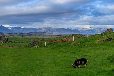 Icelandic Sheep With Mountainous Backdrop