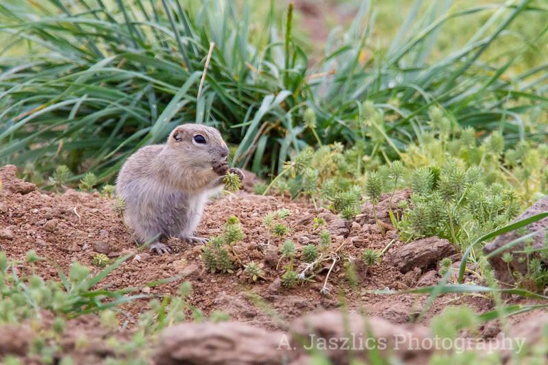Great Basin Ground Squirrel
