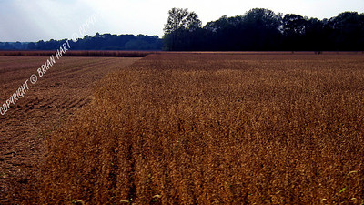 IMG_8719 Half Harvested Field