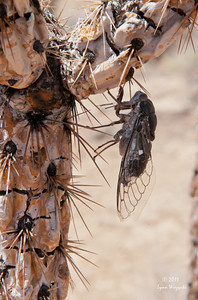 Cicada on dead cactus