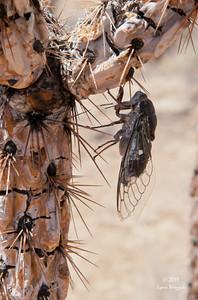 Cicada on dead cactus