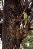 "Asian Ringnecked parakeets <br /> <br />  <a href=""http://en.wikipedia.org/wiki/Psittacula"">http://en.wikipedia.org/wiki/Psittacula</a>"