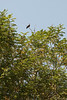 """Red naped Ibis<br /> <br />  <a href=""""http://en.wikipedia.org/wiki/Indian_Black_Ibis"""">http://en.wikipedia.org/wiki/Indian_Black_Ibis</a>"""