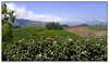 Tea estates<br /> Munnar