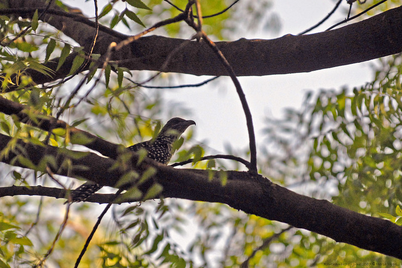 Female Asian Koel