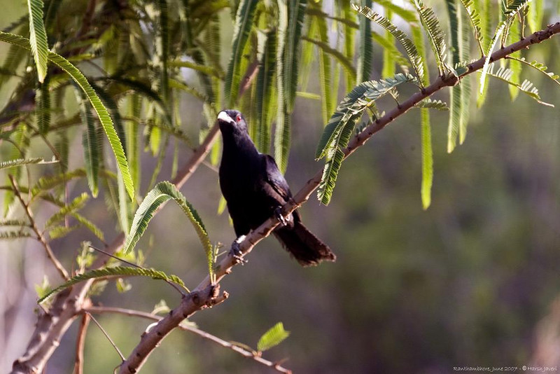"Male Asia Koel or Eudynamys scolopacea: famous for melodious "" kuoo- kuoo- kuooo"""
