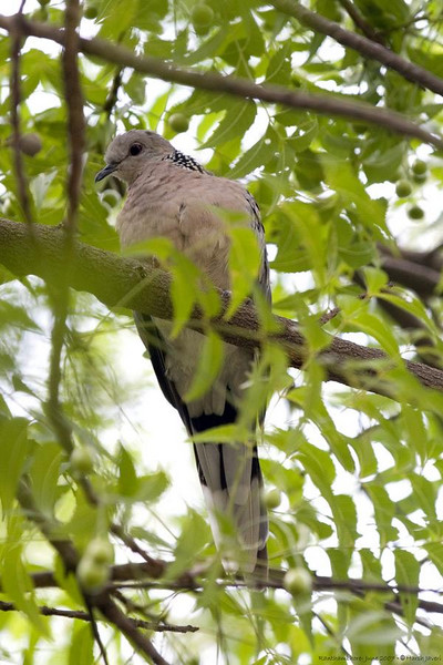 Spotted Dove <br /> (Streptopelia chinensis)