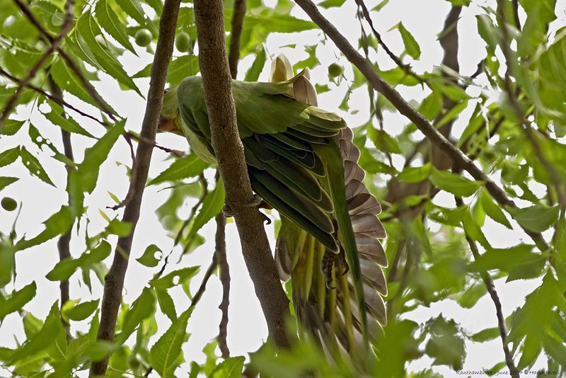Morning stretches? <br /> Rose-ringed Parakeet (Psittacula krameri)