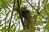 Morning stretches? <br /> Rose-ringed Parakeet (Psittacula krameri)