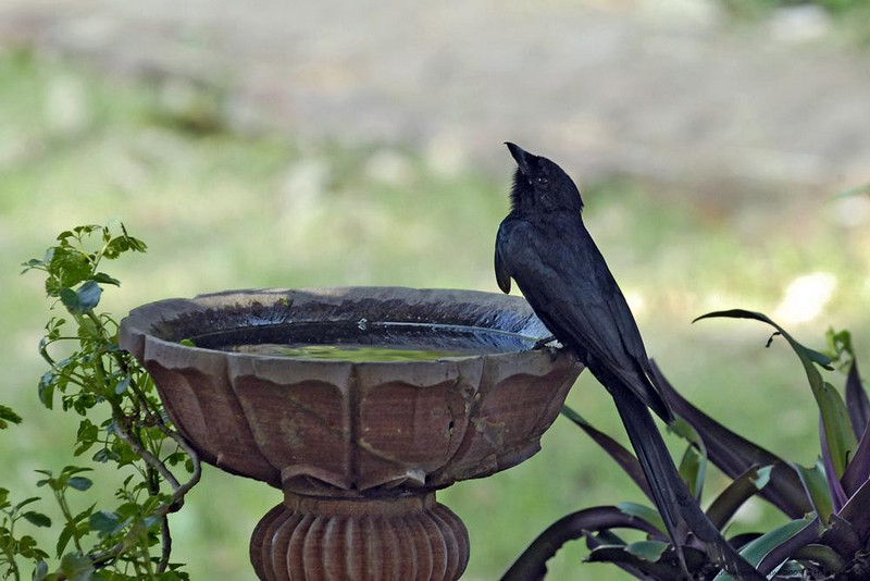 Black Drongo (Dicrurus macrocercus)