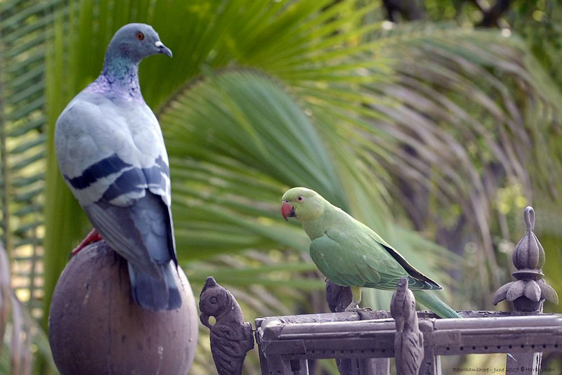 Were they staring at each other or at me?<br />  Rock Pigeon (Columba livia) and Rose-ringed Parakeet (Psittacula krameri)