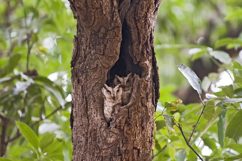 Collared Scops Owl (Otus bakkamoena)