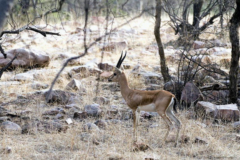 Chinkara - Indian Gazelle<br /> This small and shy deers are not a common sight and difficult to photograph as they sprint away at the slightest noise