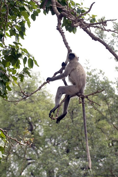I love to observe and photograph monkeys. The pictures of Gray Langurs  were taken near the park's gate.