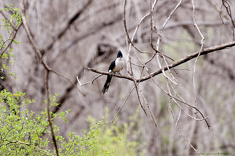 Crested Pied Cuckoo