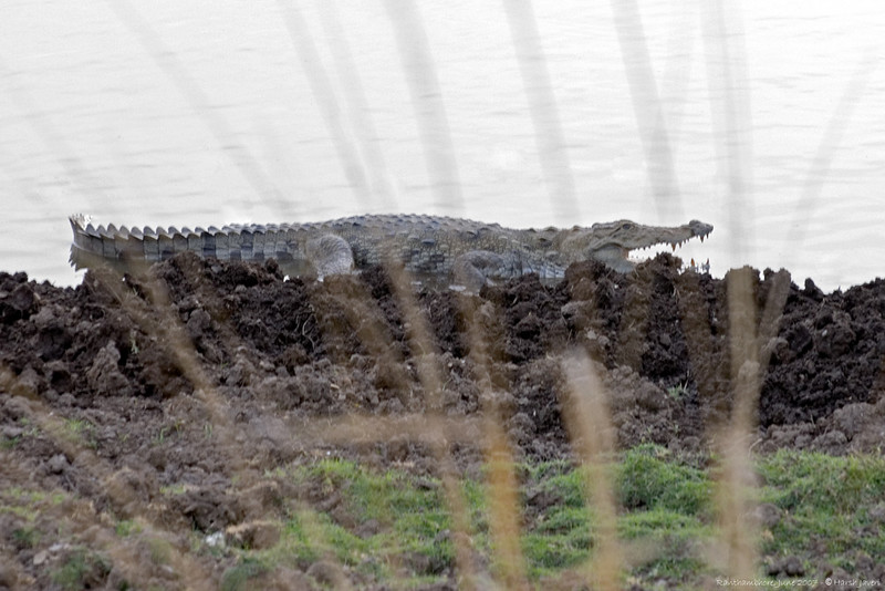 crocodile at Raj Bag lake