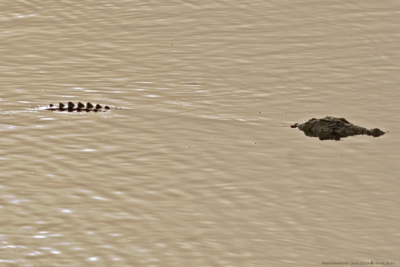 A crocodile at Raj Bag lake