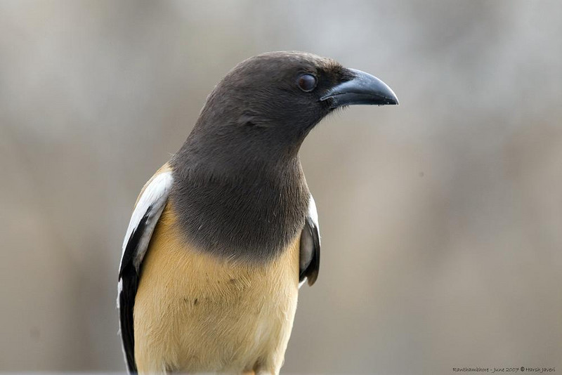 Rufous Treepie (Dendrocitta vagabunda)  - they are quite bold and this one came and sat on our Gypsy's (Jeep like vehicle) windshield looking for any food stuff in the car.