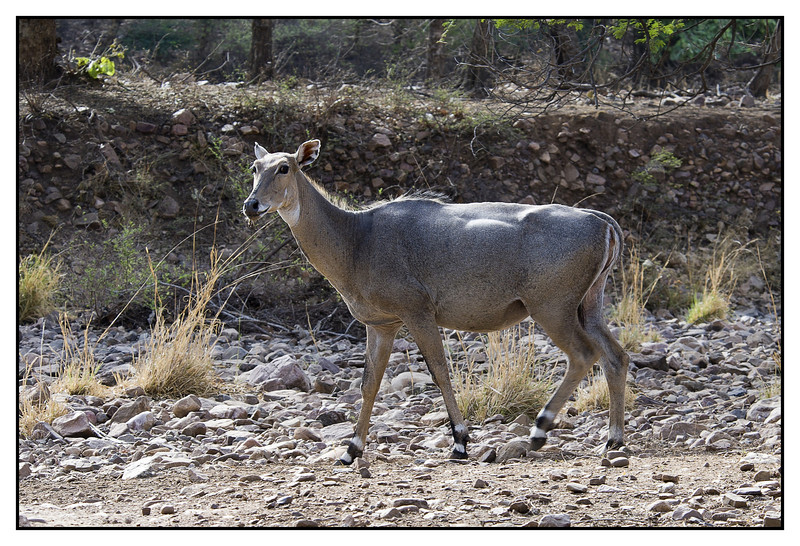 Nilgai, Ranthambhore National Park<br /> The nilgai (Boselaphus tragocamelus), sometimes called nilgau, is an antelope, and is one of the most commonly seen wild animals of central and northern India and eastern Pakistan; it is also present in parts of southern Nepal. The mature males appear ox-like and are also known as blue bulls. The nilgai is the biggest Asian antelope.