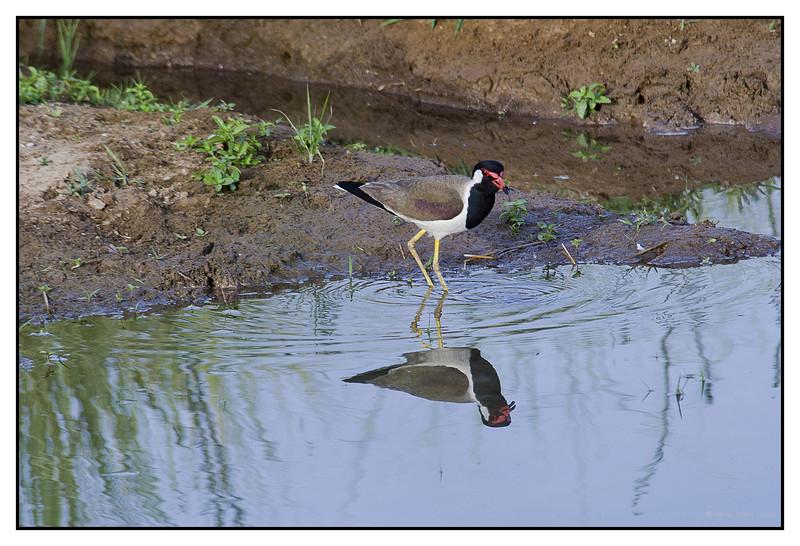 Red-wattled Lapwing-  Vanellus indicus at Khem Vilas