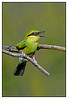 Green Bee-eater           - Merops orientalis at Khem Vilas
