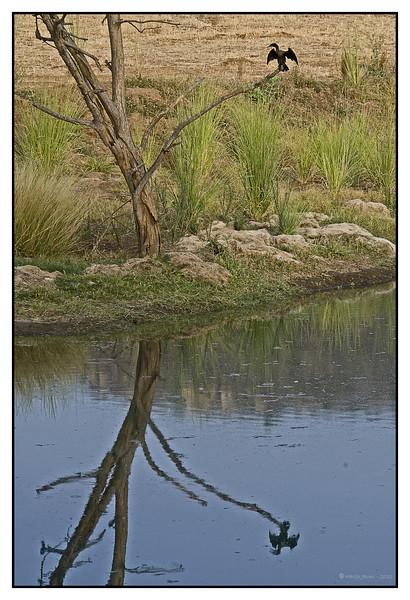 Indian Cormorant Phalacrocorax fuscicollis at Khem Vilas
