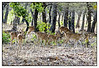 Spotted deer at Ranthambhore National Park