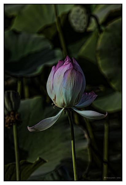 Lotus at Khem Vilas