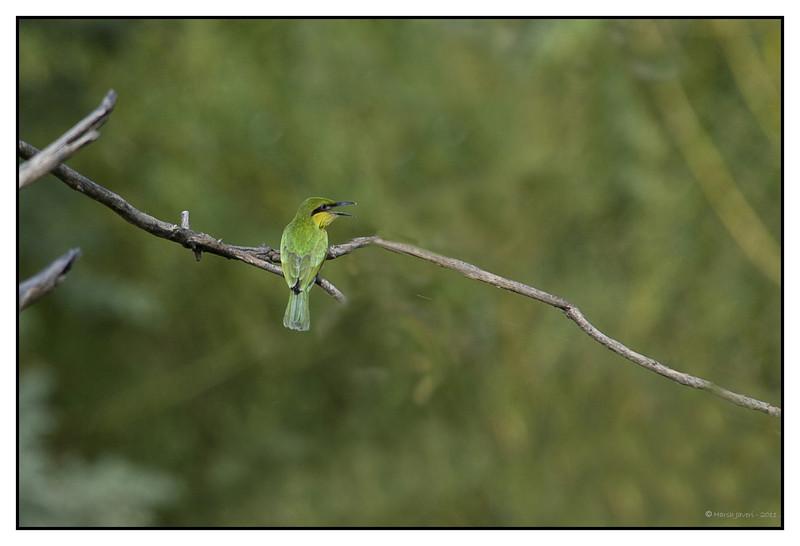 Green Bee-eater           - Merops orientalis at Khem Vilas