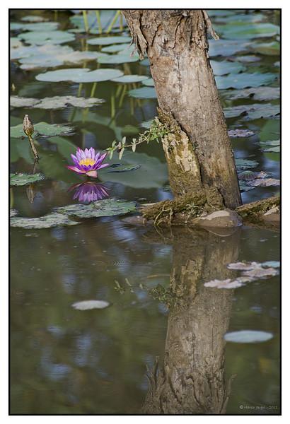 Water lily<br /> Khem Vilas