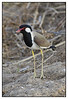 Red-wattled Lapwing-  Vanellus indicus at Khem Vilas