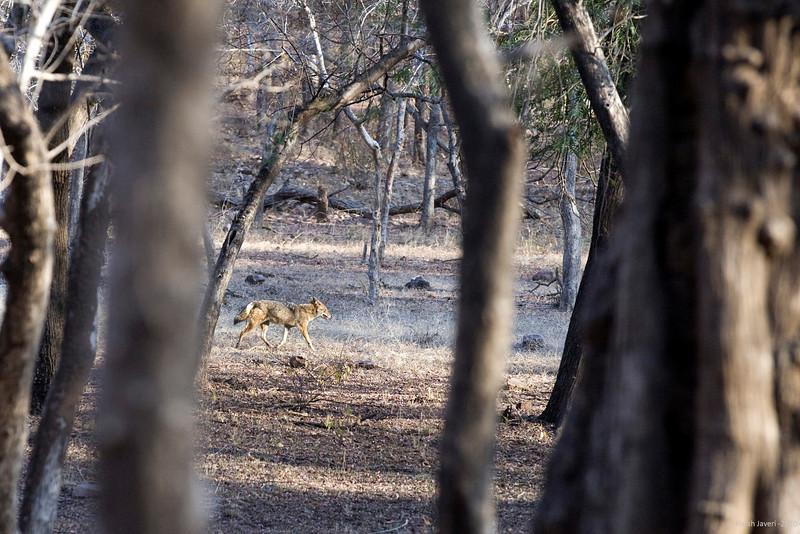 """Jackal<br /> Shot at Ranthambhore national park <br /> <br /> <a href=""""http://en.wikipedia.org/wiki/Ranthambhore_National_Park"""">http://en.wikipedia.org/wiki/Ranthambhore_National_Park</a><br /> <br /> <a href=""""http://www.tigerwatch.net/"""">http://www.tigerwatch.net/</a>"""