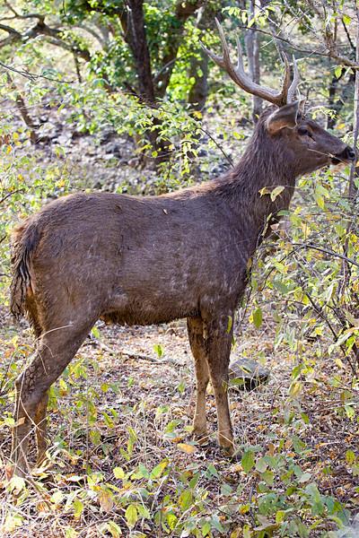 "The Sambar (Rusa unicolor) is a large dark brown, maned Asian deer. <br /> <br /> Shot at Ranthambhore national park <br /> <br />  <a href=""http://en.wikipedia.org/wiki/Ranthambhore_National_Park"">http://en.wikipedia.org/wiki/Ranthambhore_National_Park</a><br />  <a href=""http://www.tigerwatch.net/"">http://www.tigerwatch.net/</a><br />  <a href=""http://en.wikipedia.org/wiki/Sambar_%28deer%29"">http://en.wikipedia.org/wiki/Sambar_%28deer%29</a>"