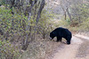 "Sloth bear <br /> Shot at Ranthambhore national park <br /> <br />  <a href=""http://en.wikipedia.org/wiki/Ranthambhore_National_Park"">http://en.wikipedia.org/wiki/Ranthambhore_National_Park</a><br />  <a href=""http://www.tigerwatch.net/"">http://www.tigerwatch.net/</a>"