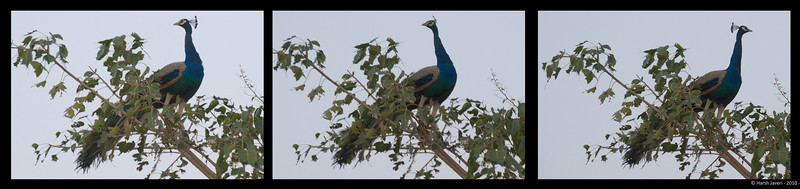 Peacock <br /> Maa Farm