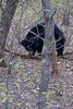"Sloth bear <br /> Shot at Ranthambhore national park <br /> <br />  <a href=""http://en.wikipedia.org/wiki/Ranthambhore_National_Park"">http://en.wikipedia.org/wiki/Ranthambhore_National_Park</a><br />  <a href=""http://www.tigerwatch.net/"">http://www.tigerwatch.net/</a>"
