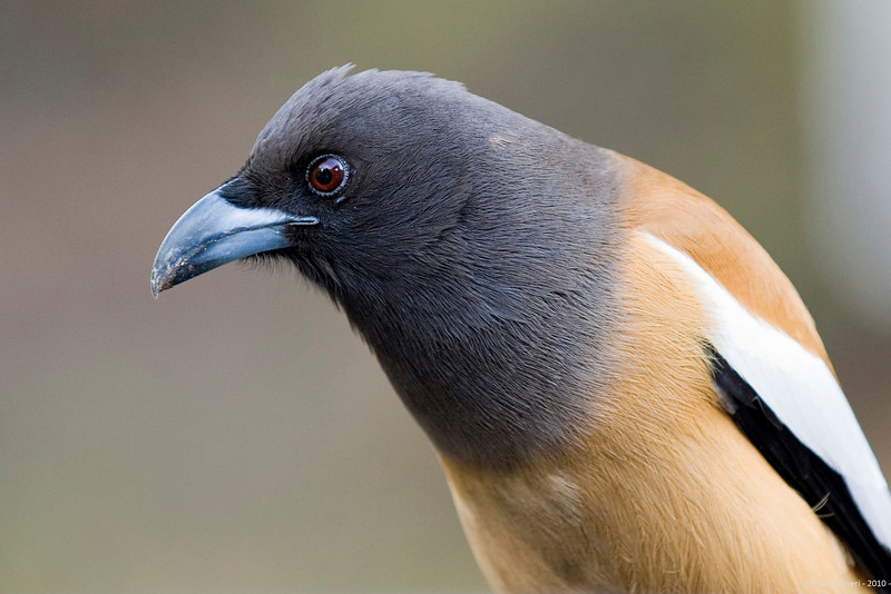 """Rufous Treepie<br /> <br /> Shot at Ranthambhore national park <br /> <br /> The Rufous Treepie (Dendrocitta vagabunda) is an Asian treepie, a member of the Corvidae (crow) family. It is long tailed and has loud musical calls making it very conspicuous. It is found commonly in open scrub, agricultural areas, forests as well as urban gardens. Like other corvids it is very adaptable, omnivorous and opportunistic in feeding.<br /> <br />  <a href=""""http://en.wikipedia.org/wiki/Ranthambhore_National_Park"""">http://en.wikipedia.org/wiki/Ranthambhore_National_Park</a><br />  <a href=""""http://www.tigerwatch.net/"""">http://www.tigerwatch.net/</a><br />  <a href=""""http://en.wikipedia.org/wiki/Rufous_Treepie"""">http://en.wikipedia.org/wiki/Rufous_Treepie</a>"""