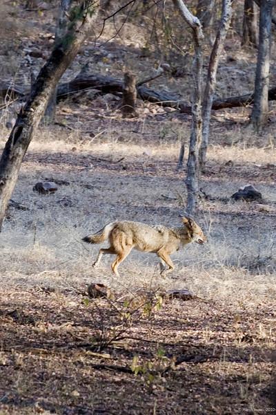 """Jackal<br /> <br /> Shot at Ranthambhore national park <br /> <br /> <a href=""""http://en.wikipedia.org/wiki/Ranthambhore_National_Park"""">http://en.wikipedia.org/wiki/Ranthambhore_National_Park</a><br /> <br /> <a href=""""http://www.tigerwatch.net/"""">http://www.tigerwatch.net/</a>"""