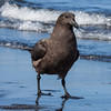 Brown Skua,