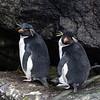 Southern Rockhopper Penguins