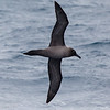 Lightly-mantled Albatross